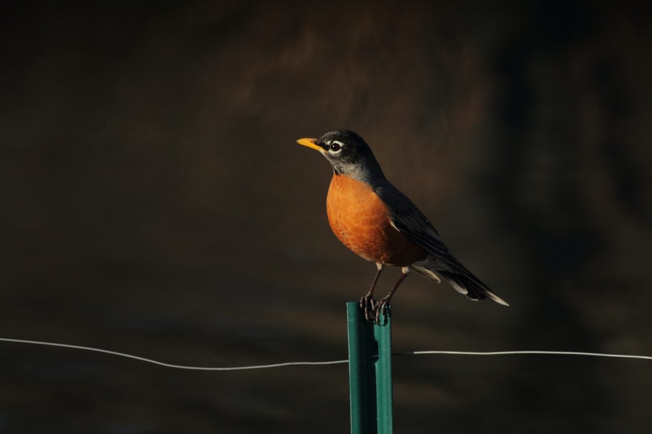 A robin on a fence post